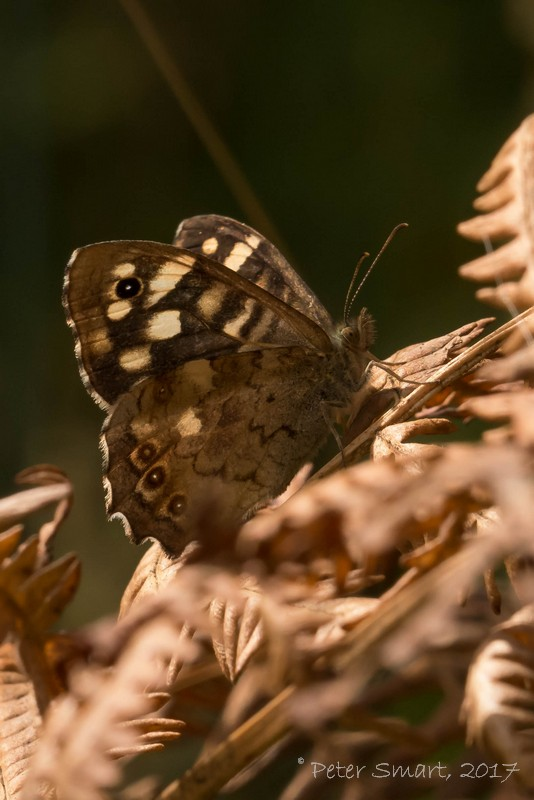 Roydon_170813-1000_Speckled_Wood_1100775