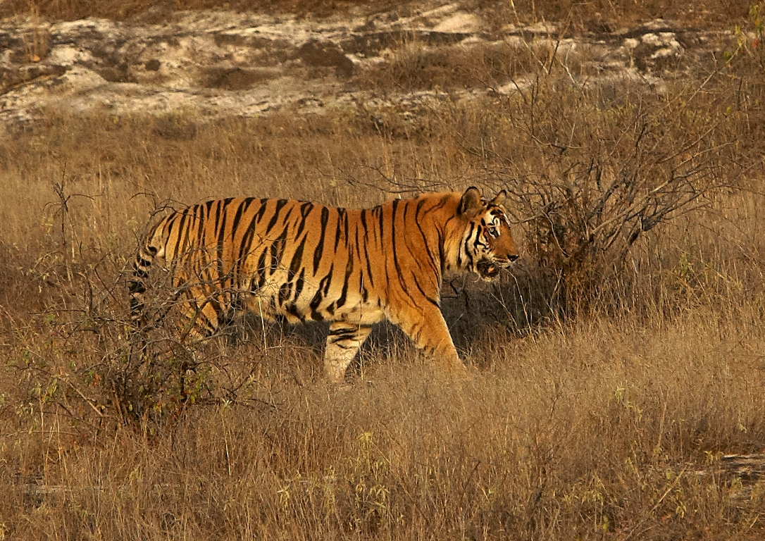 A04_1200_Bengal_Tiger_in10a_784Q9417
