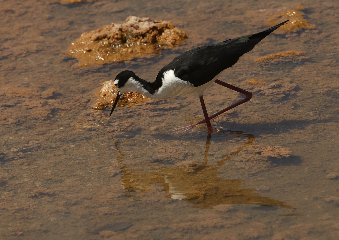 5300_N89_Black-necked_Stilt_D09a_Isabela_784Q6292
