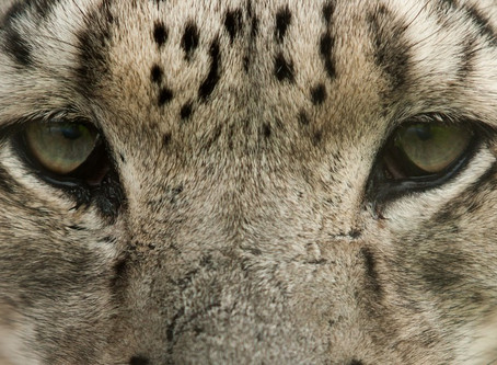 Big Cat Photography courses in the New Year