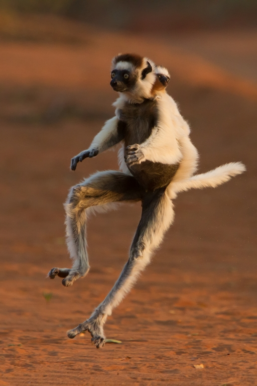 H11_4000_Verreauxs_Sifaka_mg12a-0944