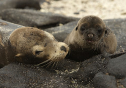 1050_M26_Galapagos_Sealion_D08a_Chinese_Hat_784Q6056