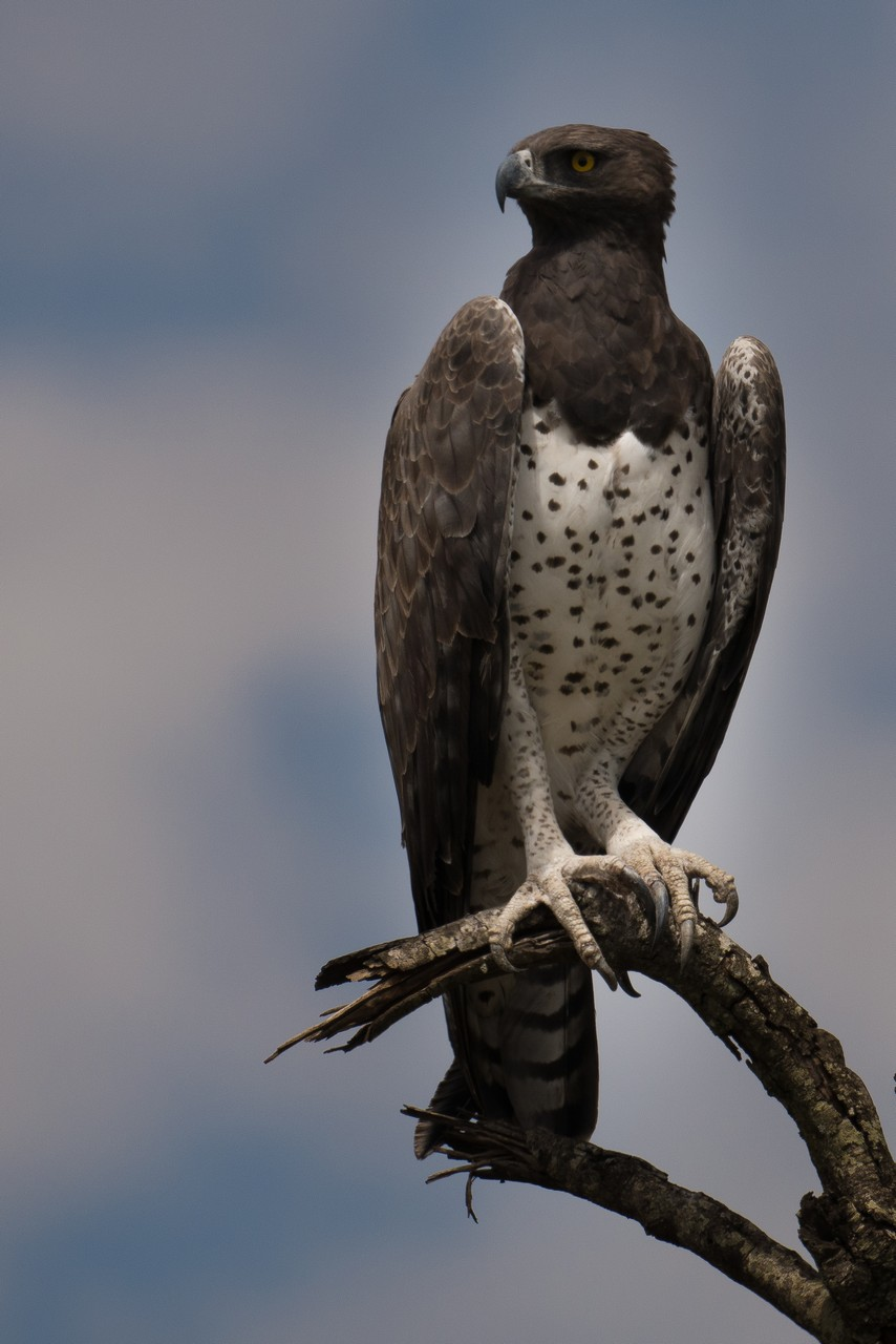 1701_6500_25ky-Martial_Eagle-1040233