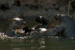 A01_0550_Giant_River_Otter_br12a-1352