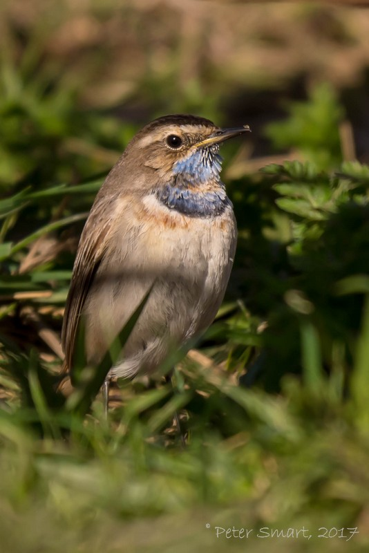 Lincolnshire_0300_WillowTreeFen_170325_Bluethroat-1070935