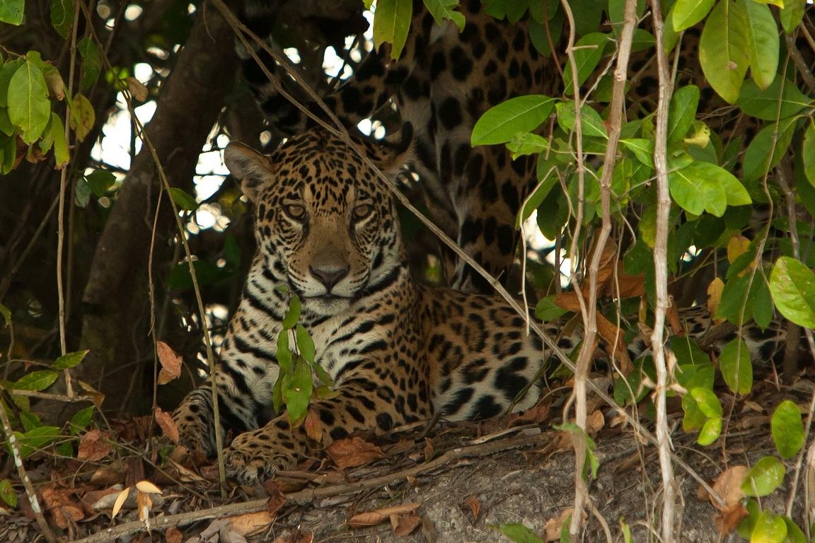 A01_0900_Jaguar_br12a-1673