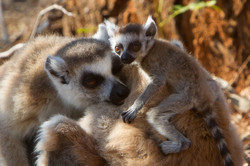 A23_3000_Ring-tailed_Lemur_mg12a-0621