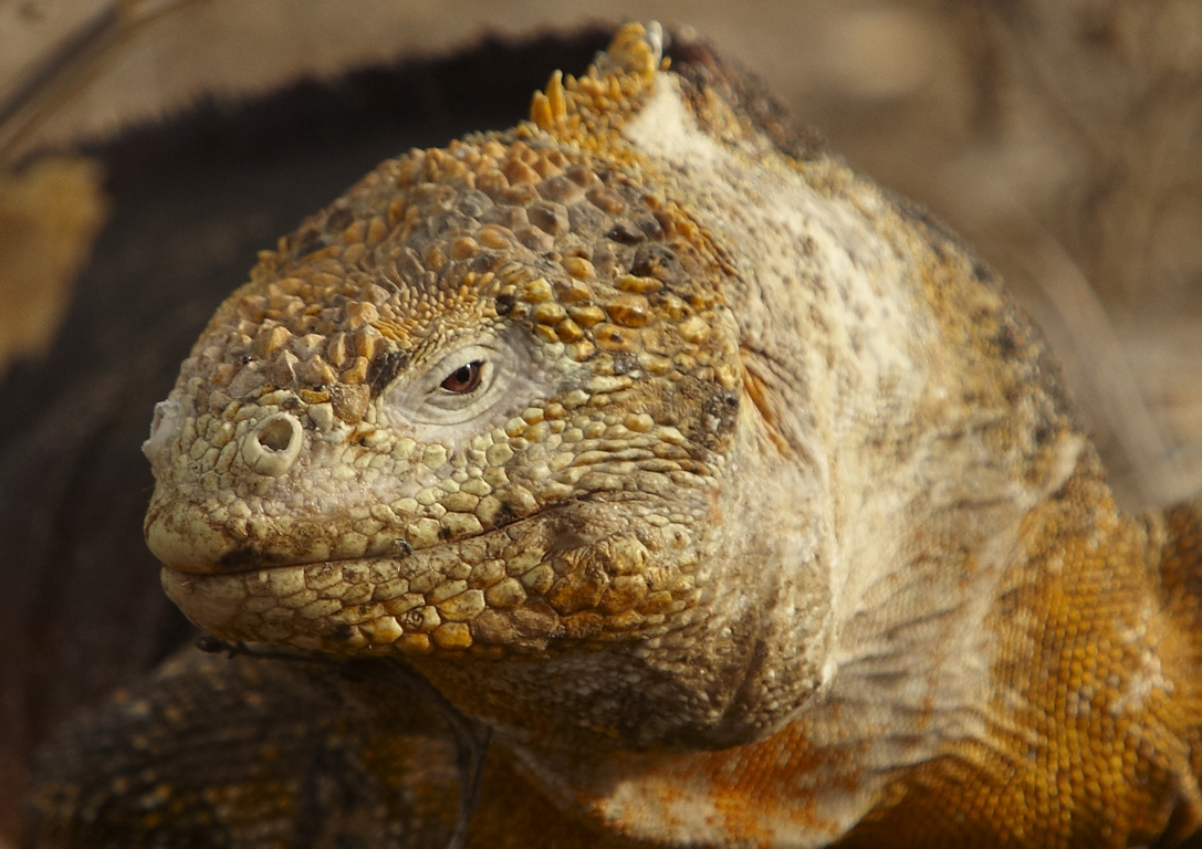 3500_K86_Land_Iguana_D08c_Santa_Cruz_(Dragon_Hill)_784Q6126