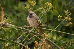 1701_6800_21ky-Speckled_Mousebird-1010800