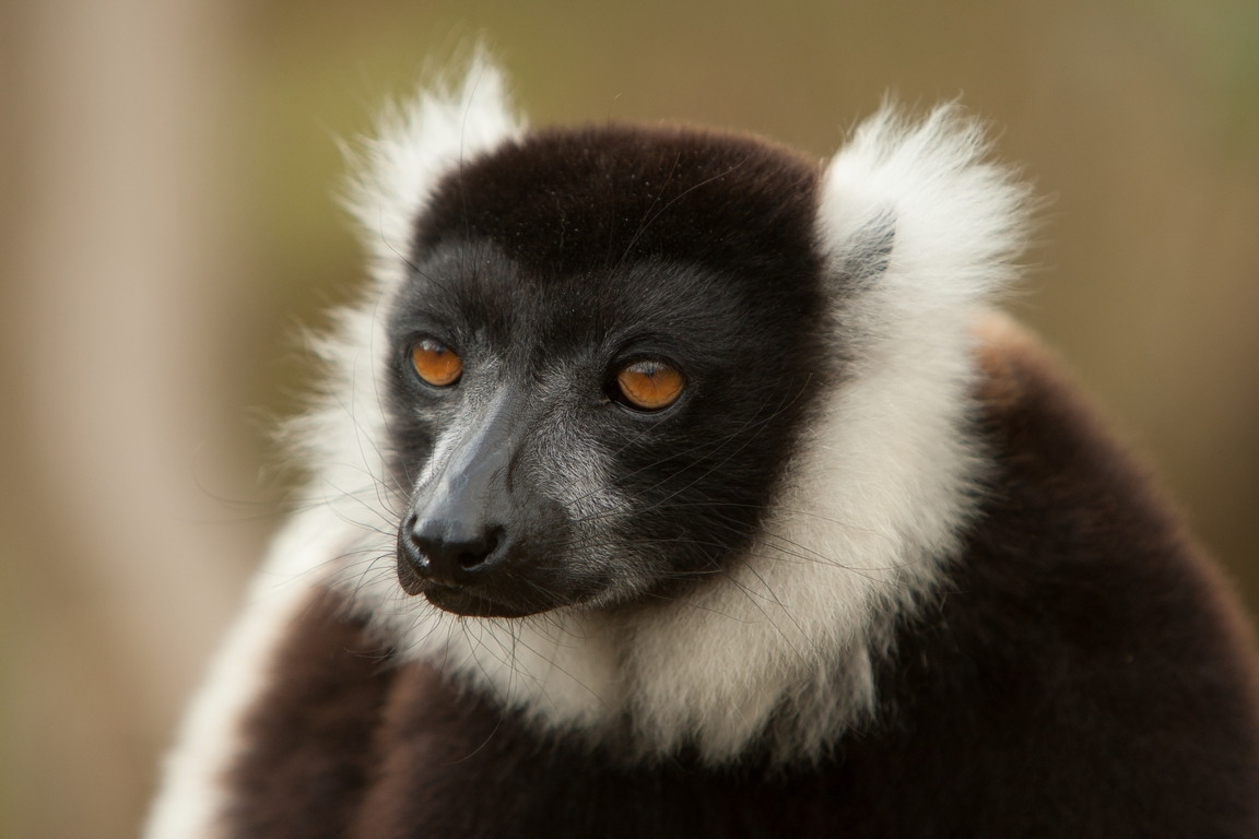 H26_1000_Black_and_White_Ruffed_Lemur_mg12a-5705