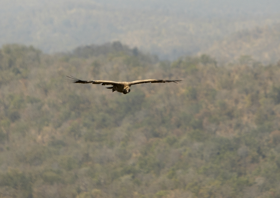 N21_1000_Indian_Vulture_in10a_784Q9985