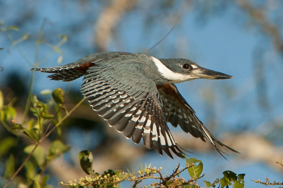 A01_0700_Ringed_Kingfisher_br12a-2053