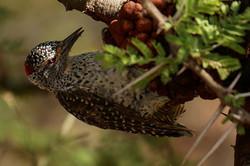 1701_1550_27ky-Nubian_Woodpecker_P1060001-1_4KP