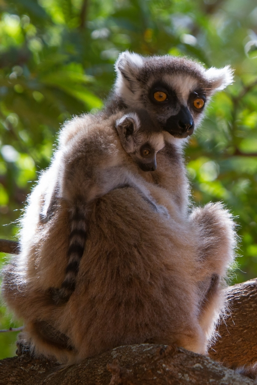 H21_3000_Ring-tailed_Lemur_mg12a-0651