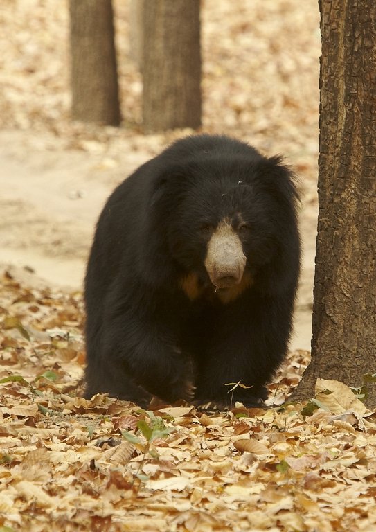 J01_1000_Sloth_Bear_in10a_784Q9685