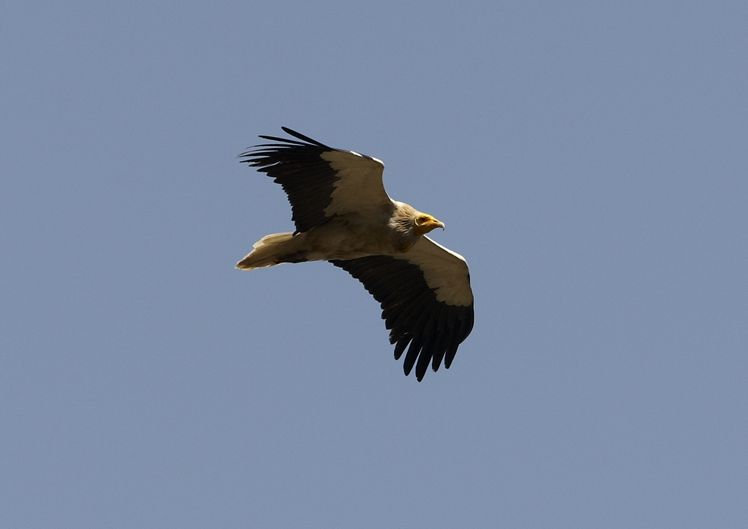 N22_1000_Egyptian_Vulture_in10a_784Q9961