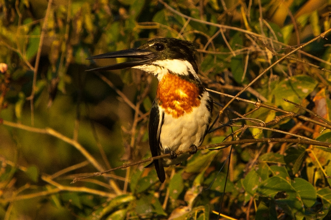 A01_0880_Amazon_Kingfisher_br12a-2190