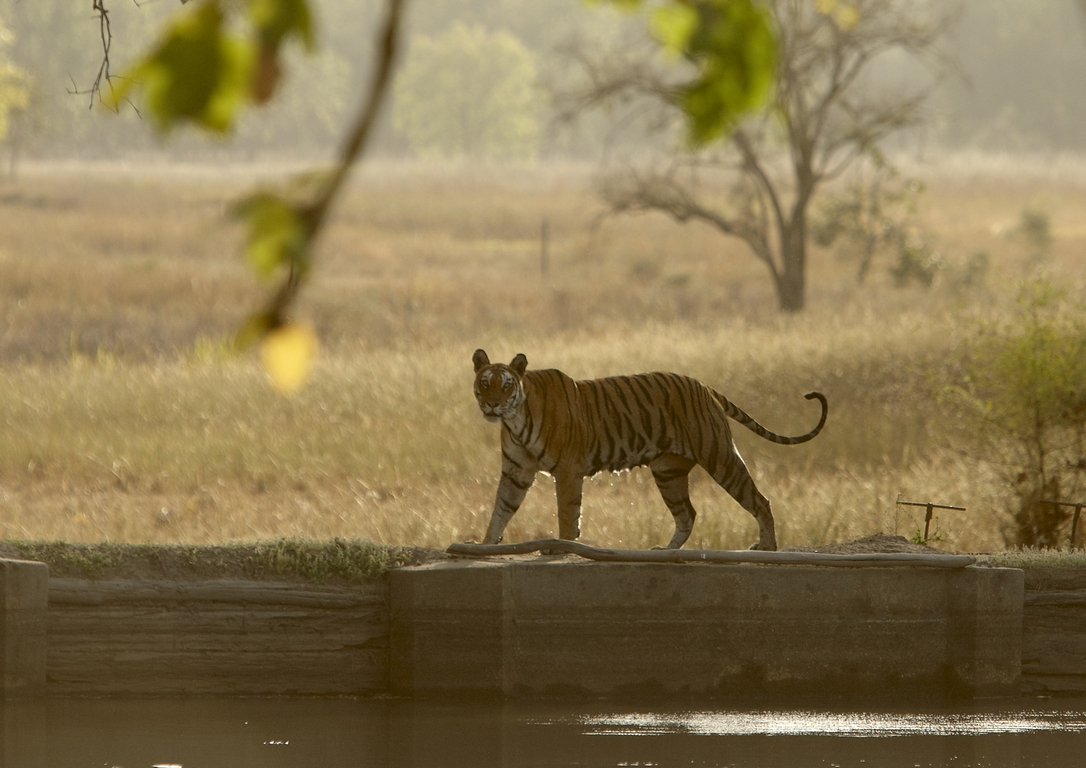 A04_6000_Bengal_Tiger_in10a_784Q0065 (2)