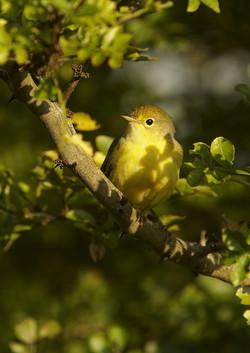 6000_N16_Yellow_Warbler_D05a_Santa_Cruz_784Q5399