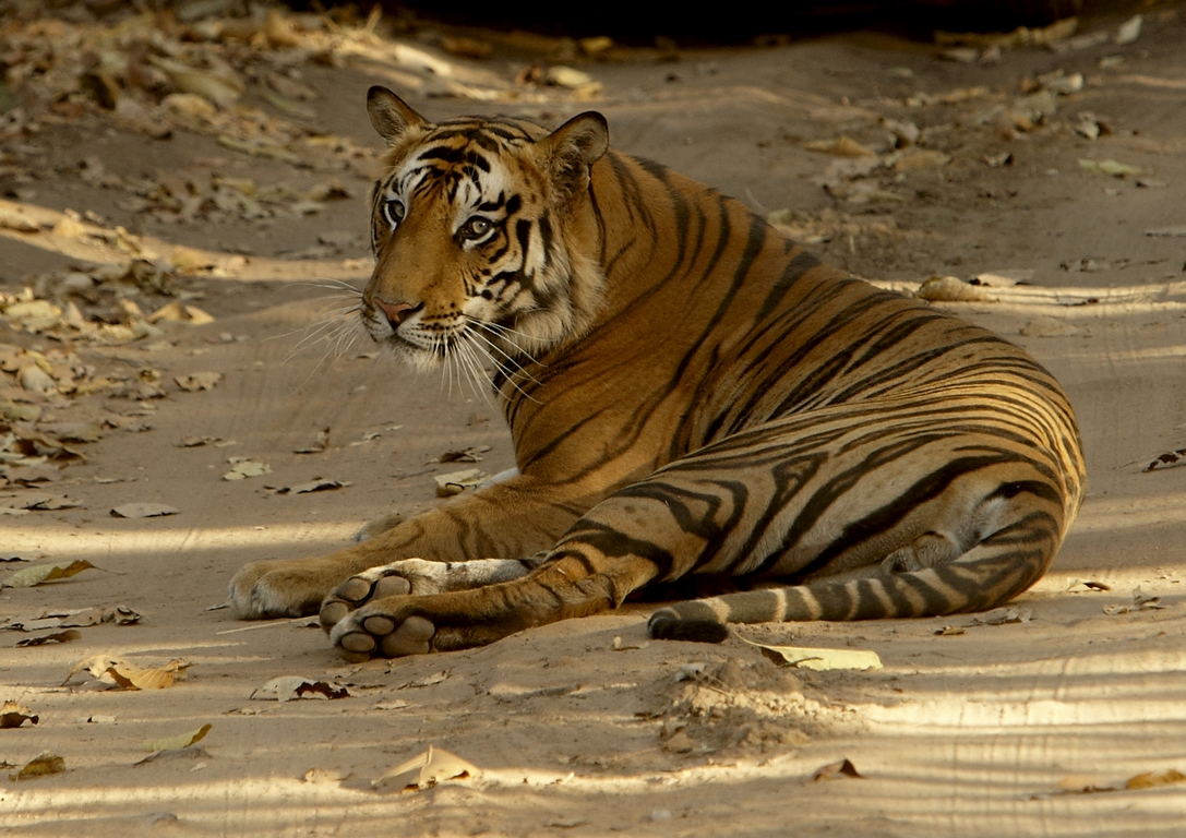 A04_0500_Bengal_Tiger_in10a_784Q9190