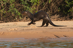 A01_0250_Giant_River_Otter_br12a-0463
