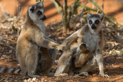 H21_3000_Ring-tailed_Lemur_mg12a-0629