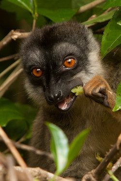 H36_1200_Common_Brown_Lemur_mg12a-5605