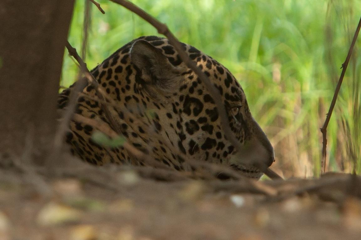 A11_3000_Jaguar_br12a-1415