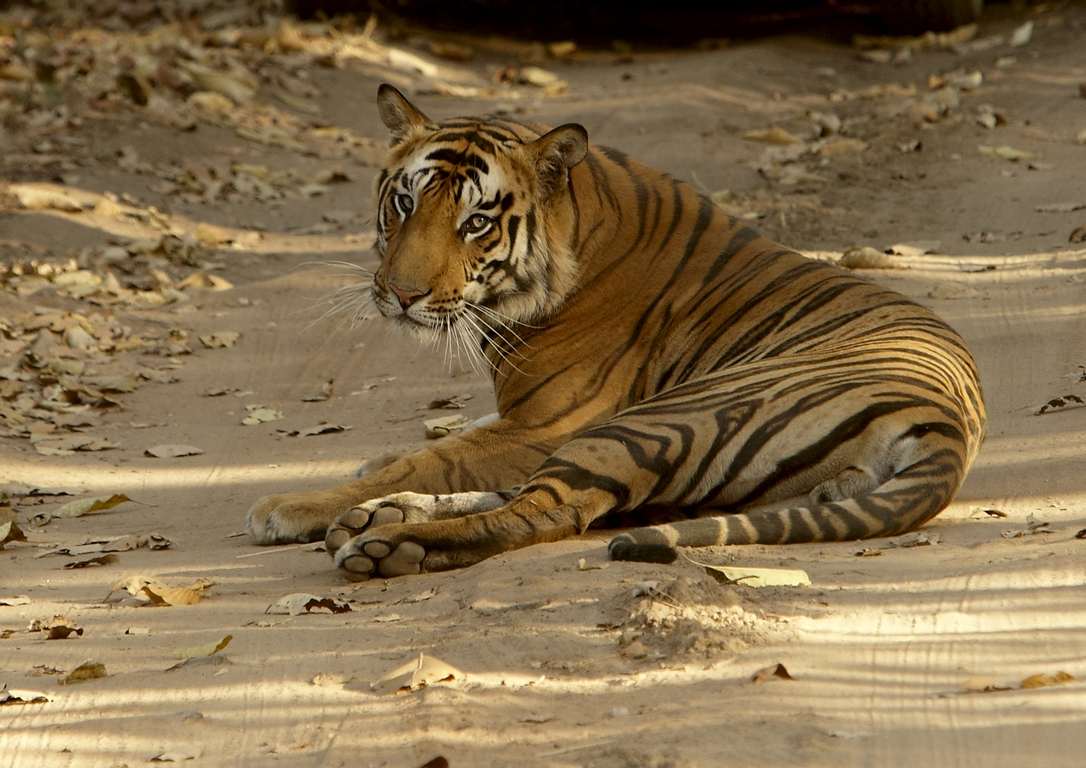 A04_2900_Bengal_Tiger_in10a_784Q9193
