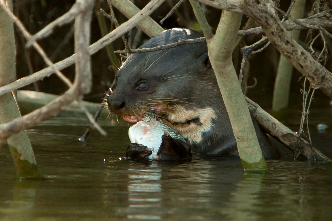 A01_0850_Giant_River_Otter_br12a-1255