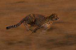 1701_3700_22ky-Cheetah-1020049