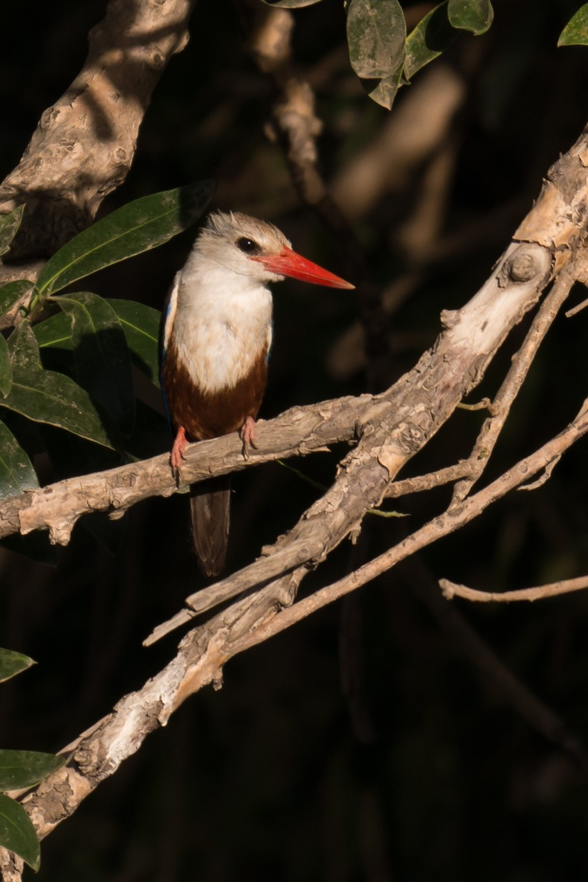 1701_2550_23ky-Grey-headed_Kingfisher-1030121