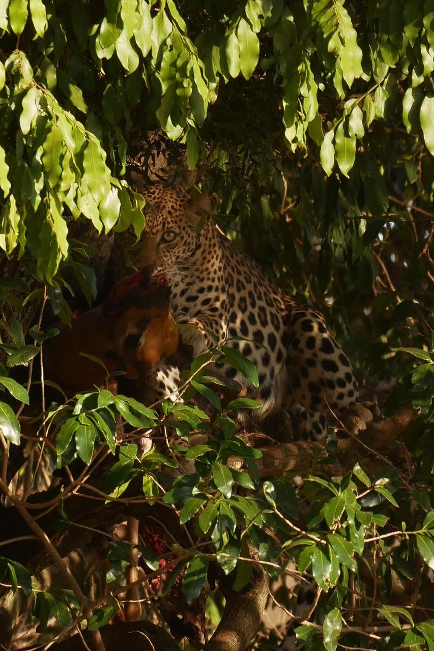 1701_3200_27ky-African_Leopard--Nelangu-on_kill_P1050619-1_4KP