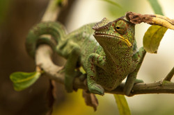 A29_1000_Panther_Chameleon_(C)_mg12a-6313