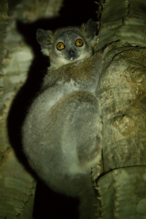 A66_0500_White-footed_Sportive_Lemur_mg12a-1152