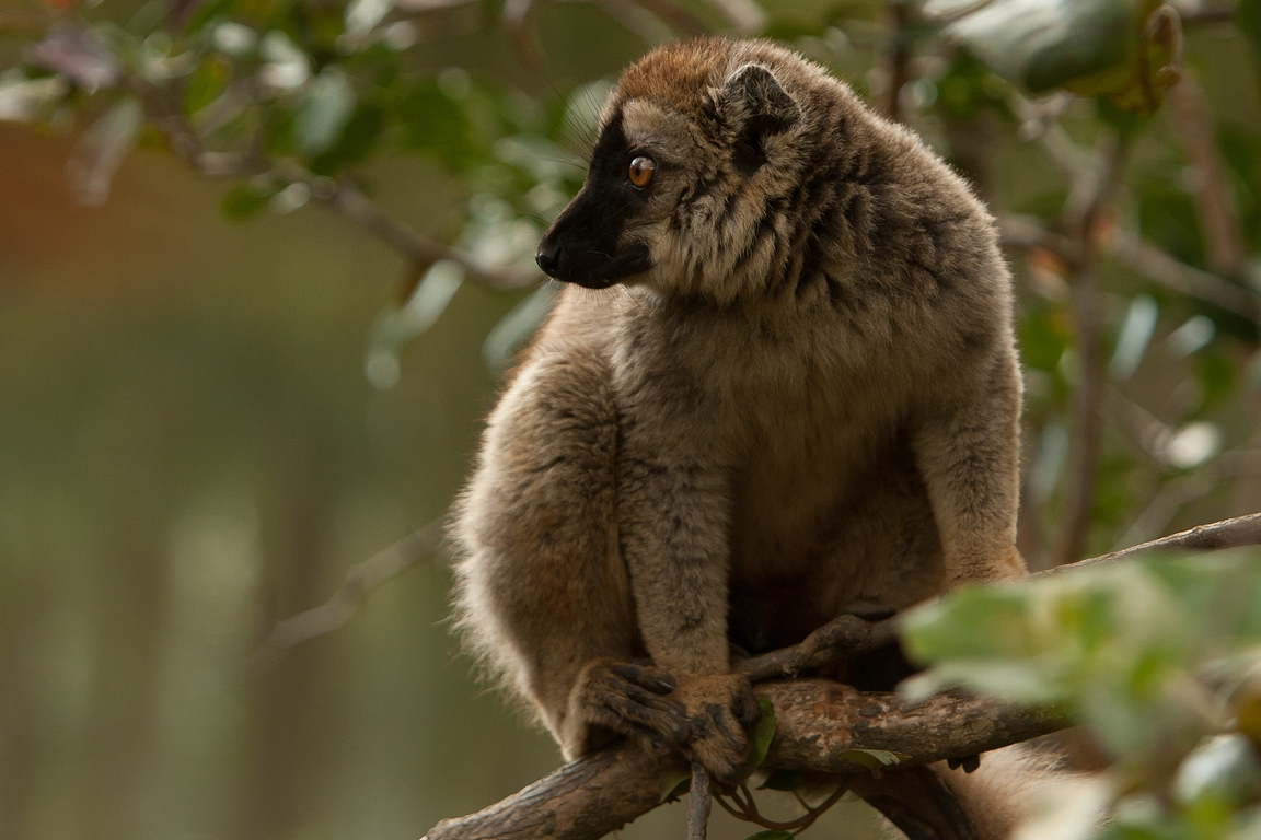 A41_1050_Red-fronted_Brown_Lemur_mg12a-5725