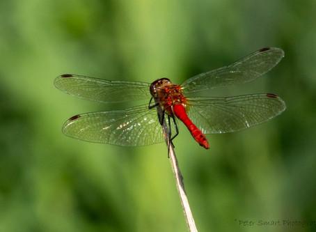 Dragonflies & Flowers at RSPB Lakenheath