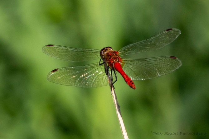Dragonflies & Flowers at RSPB Lakenheath