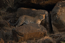 1701_1000_28ky-African_Leopard--1060237