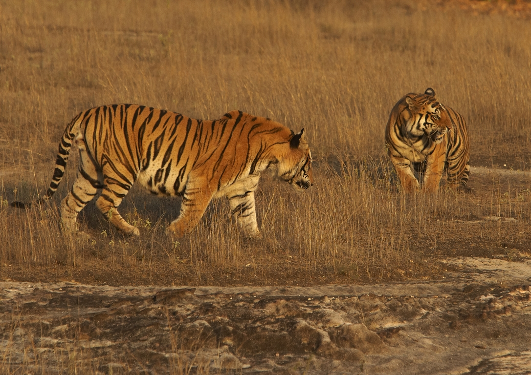 A04_1100_Bengal_Tiger_in10a_784Q9335