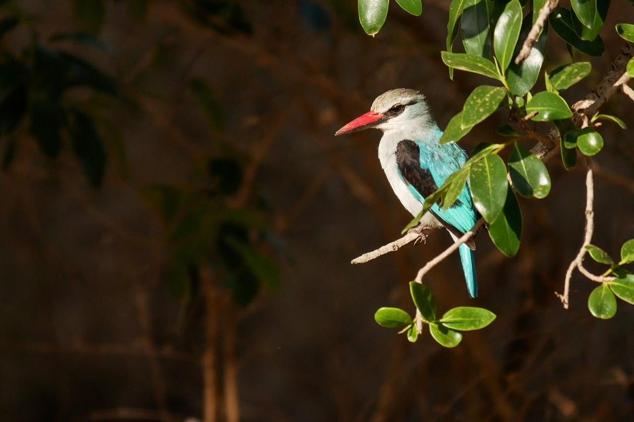 1701_2540_27ky-Woodland_Kingfisher_P1050669-1_4KP