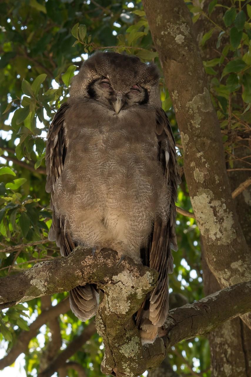 1701_8200_22ky-Verreuxs_eagle_Owl-1020299
