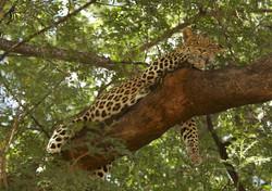 A03_100_African_Leopard_bw09a_784Q5554