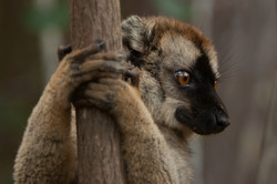 H31_1200_Red-fronted_Brown_Lemur_mg12a-5712