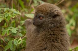 A61_1000_Eastern_Grey_Bamboo_Lemur_mg12a-5720
