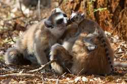 H21_3000_Ring-tailed_Lemur_mg12a-0618
