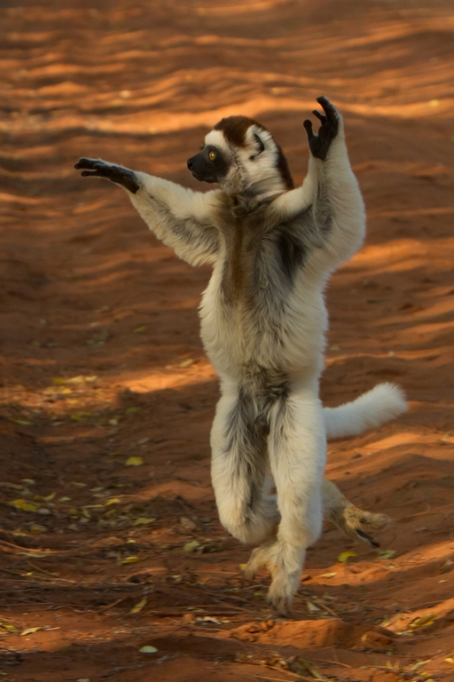H11_4000_Verreauxs_Sifaka_mg12a-0743