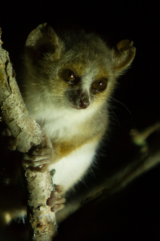 H56_1000_Grey_Mouse_Lemur_mg12a-1691