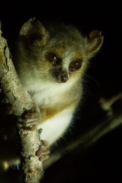 H56_1000_Grey_Mouse_Lemur_mg12a-1691