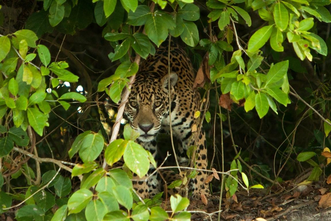 A01_0600_Jaguar_br12a-1564